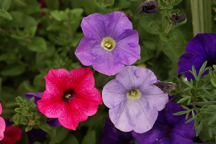 Hanging Basket Flowers